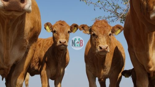 Cattle Breeds That Can Change Your Fortunes.