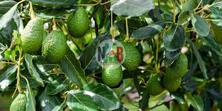 Make Quick Money Through Hass Avocado Farming.