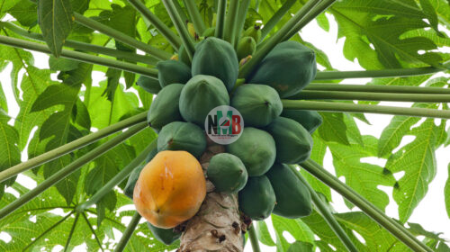 Secrets Behind PawPaw Business in Kenya