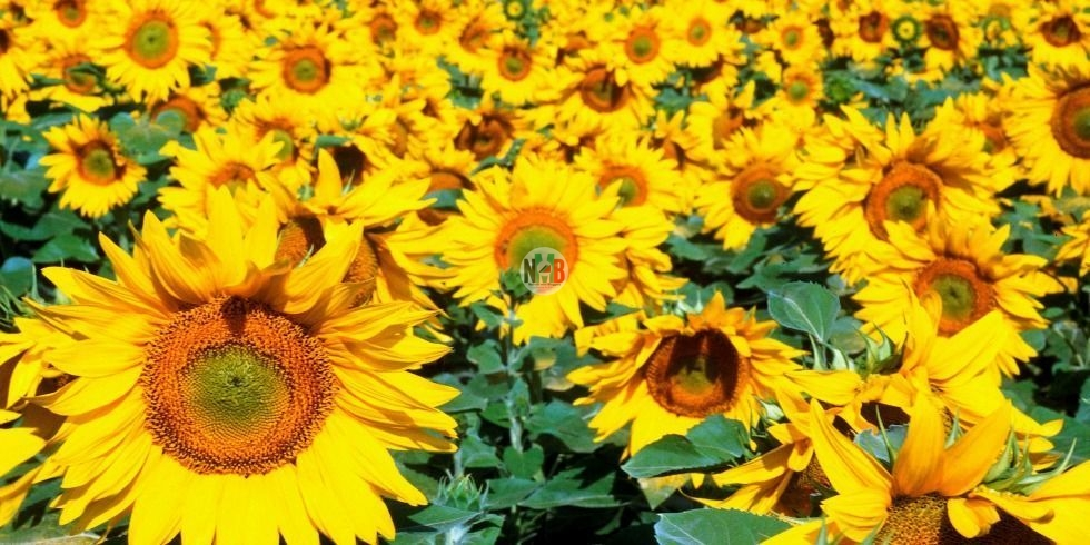 Make Money Through Sunflower Farming.