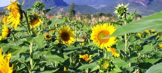 Making Money Through Sunflower Farming.
